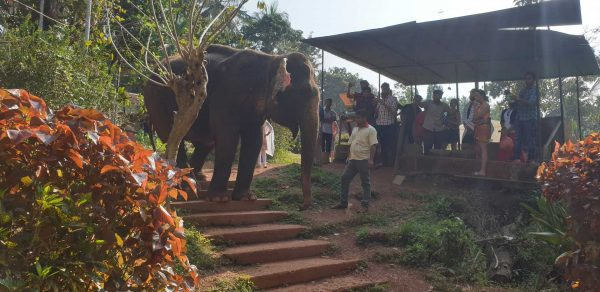 elephant at plantation